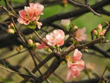 木瓜の花(ぼけのはな)親水緑道 210301撮影  1178