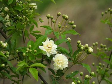 木香薔薇(もっこうばら)白色 散策路180412撮影 444