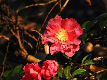 山茶花(さざんか)親水緑道 200112撮影 133