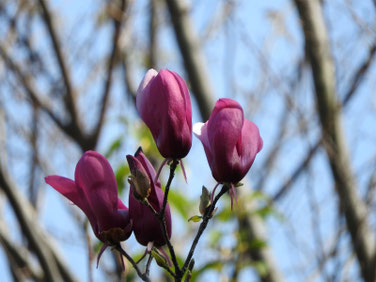 紫木蓮(しもくれん) 散策路 180331撮影 411