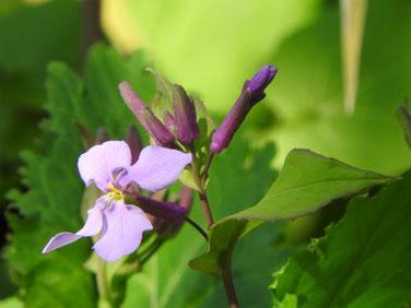 紫花菜(花大根) 散策路 170312撮影 108