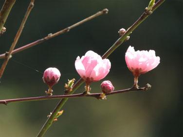 桃の花 散策路 170325撮影 137