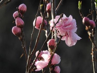 桃の花(もものはな) 散策路 210317撮影 1230