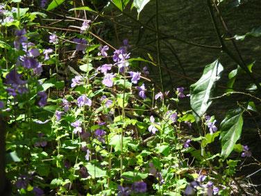 紫花菜(むらさきはなな)親水緑道 200311撮影 955