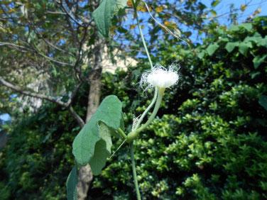 カラスウリの花 散策路マクロ 200816撮影 889