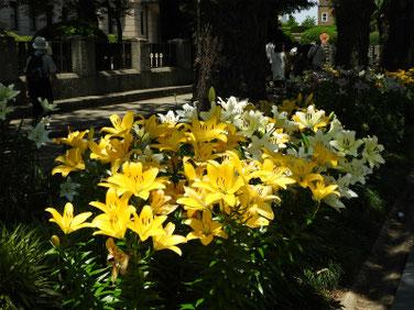 百合の花(ゆり) 日本大通り 180602撮影 337