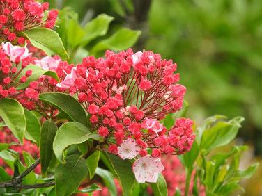 カルミア(アメリカ石楠花) 散策路 160514撮影 76