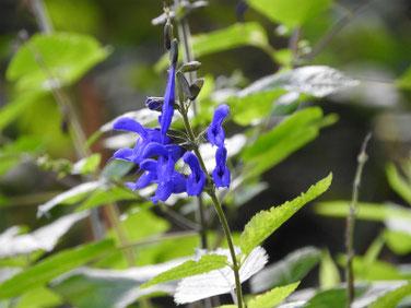 青紫ハーブセージ 散策路 201013撮影 449