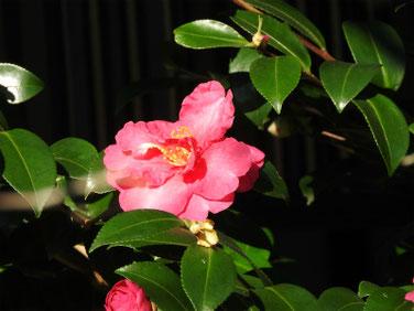 山茶花(さざんか)赤 散策路 171109撮影 180