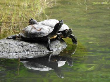 アカミミガメ 散策路親水公園池 180607撮影 189