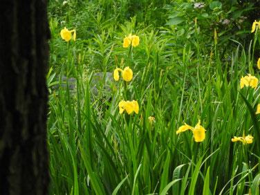 黄菖蒲(きしょうぶ) 散策路公園 190511撮影 869