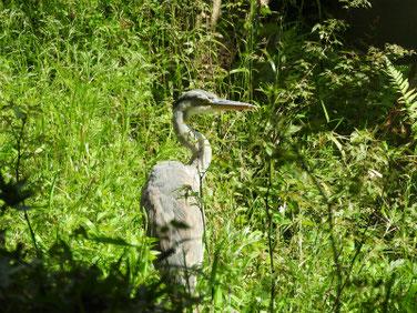 青鷺(あおさぎ) 親水公園 200424撮影 495