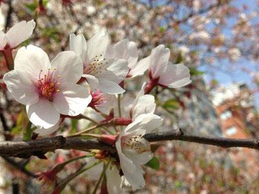 2016 隅田川 桜