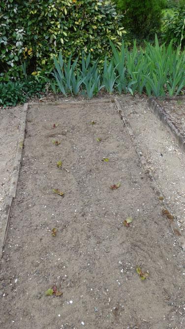 Plantation de Laitues 4 saisons