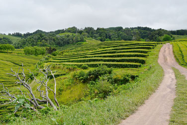 Azores, Sao Miguel: 7-Day Itinerary - Gorreana Tea Plantations