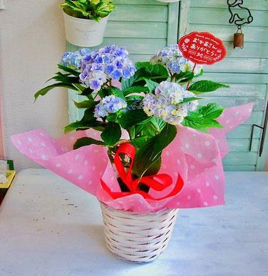 練馬桜台がーでニングショップかのはの新種の八重咲き紫陽花(ミセス シャーロット)をバスケットに入れました 練馬桜台 ガーデニングショップかのはの