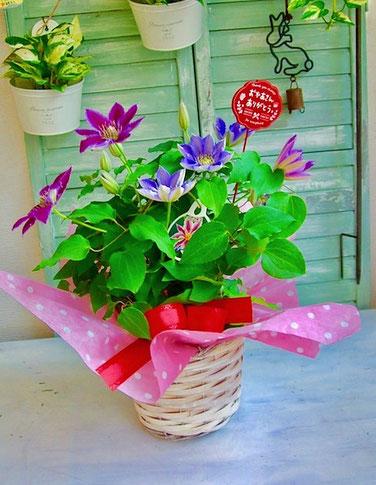 練馬桜台ガーデニングショップ かのはの 1つの鉢に2種類のクレマチスが植えられた鉢をバスケットに入れました