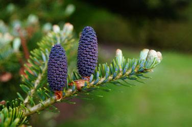 Es gibt über 50 verschiedene Arten von Tannen. Die aufrecht am Zweig stehenden Zapfen zerfallen im Herbst am Baum.