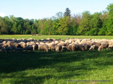 troupeau de mouton dans le jardin anglais de Munich