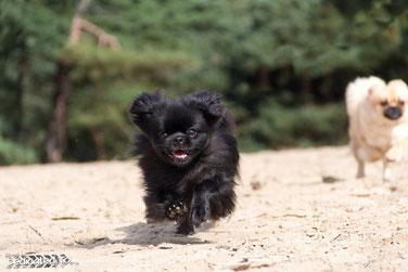 Tibetaanse Spaniels, Tibetan Spaniel, puppies, Tibet Spaniel