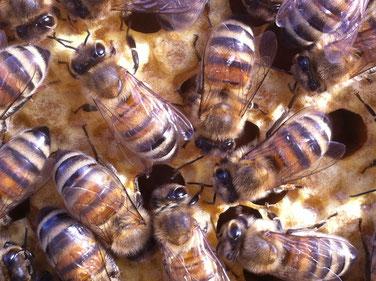Buckfastbienen auf der Brutwabe