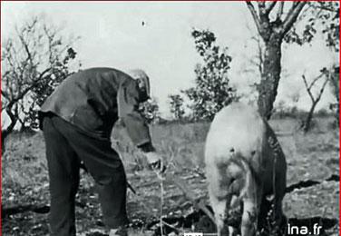 """à la recherche des truffes """"Vie à Ste Croix du Verdon février 1957"""" capture d'écran"""