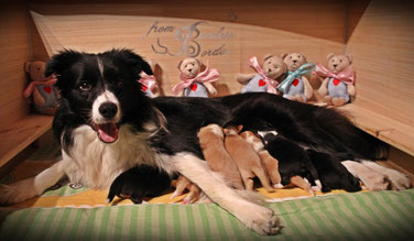 Border Collie Lucy from Peerlessborder