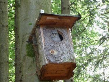 Junger Waldkauz-Nestling beim Sonnenbad in einem von uns gebauten und betreuten Nistkasten, Foto: Daniela zum Sande