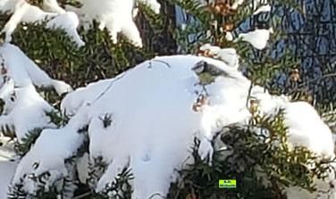 Eine fast schon im Schnee versunkene Blaumeise vor der Futterstelle am Balkon von K.D. Michaelis