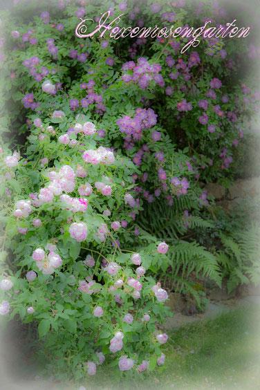 Hexenrosengarten Rosen Veilchenblau Province Panachee