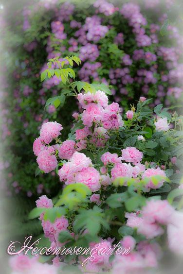 Hexenrosengarten Rosen Ispahan Veilchenblau