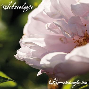 Robuste Rosen Hexenrosengarten Rosenblog Rugosa Schneekoppe