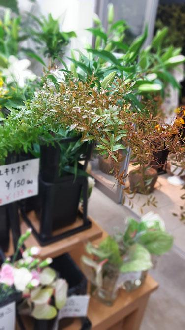 紅葉 ユキヤナギ