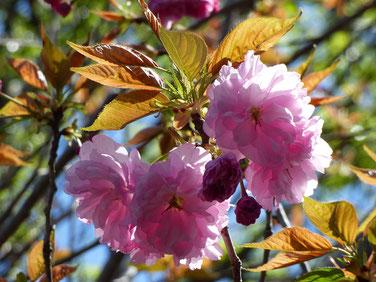 これも桜らしい。 色んなピンクがありますね~