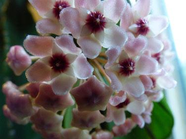 昨日よりさらに開花してます♪ 小さくてかわいい~~