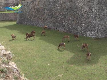 Ciervos Ciudadela de Jaca