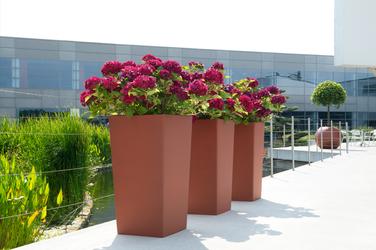 Tres hortensia en una fila en maceteros cuadrados altos de color oxidado.  Ficus nitida en macetero esfera de color oxidado