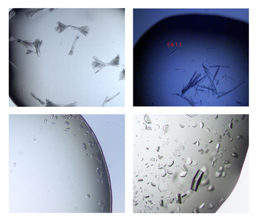 Protein crystals appear in various morphologies. We are able to isolate and fish crystals in the range few hundert microns.