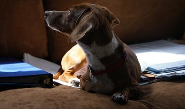 ダックスフンドの狂犬病予防について