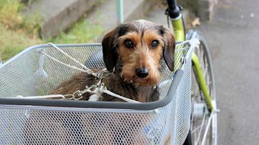 ミニチュアダックスなどの小型犬は室内で飼う事が多い