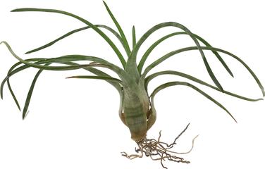 Tillandsia paraensis