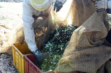 Olivenernte in Ruvo di Puglia c/o Olvipa Kevelaer