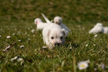 Welpenkurs, Hundewelpen