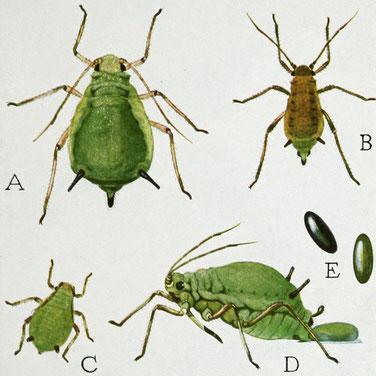 Grüne Apfelblattlaus: A: Weibchen - B: Männchen