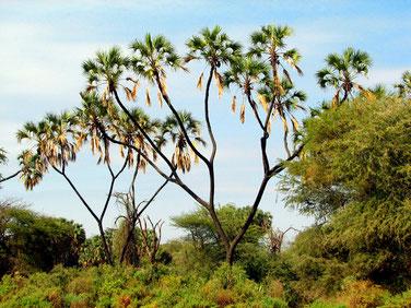 Hyphaene thebaica - Palma dum