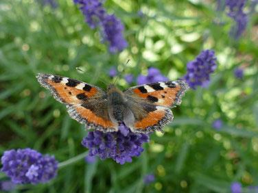 Schmetterlinge finden in der Naturoase nicht nur Nektar spendende Blühpflanzen vor, sondern vor allem auch Nahrungspflanzen für ihre Raupen