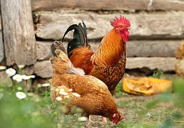 Gammarus Pellets sind ein biologisch natürliches Eiweißfutter für Hühner
