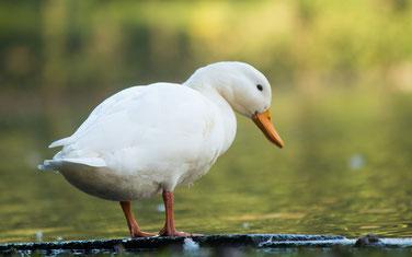 In der Wildnis ist Gammarus für Enten eine natürliche Eiweißquelle