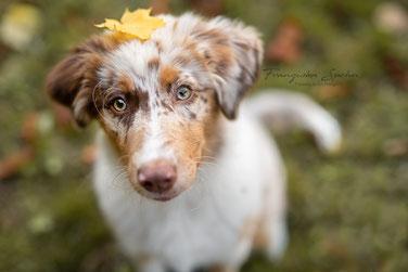 Franziska Spohn Fotografie - Outdoorshooting, Australien Shepherd Welpe, Herbstshootung, Tierfotografie, Hundefotografie