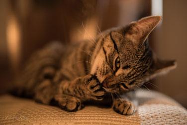 Franziska Spohn Fotografie - Tierfotografie, Katzenfotografie, Indoorshooting, Katze bei der Körperpflege